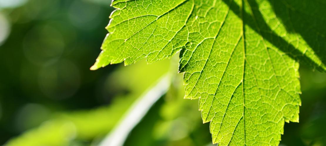 bienfaits de la chlorophylle
